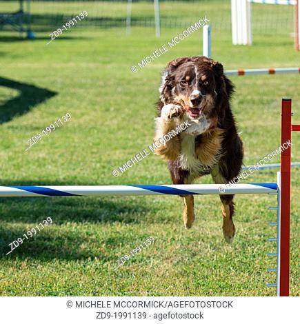 A border collie flies over a jump in an agility trial