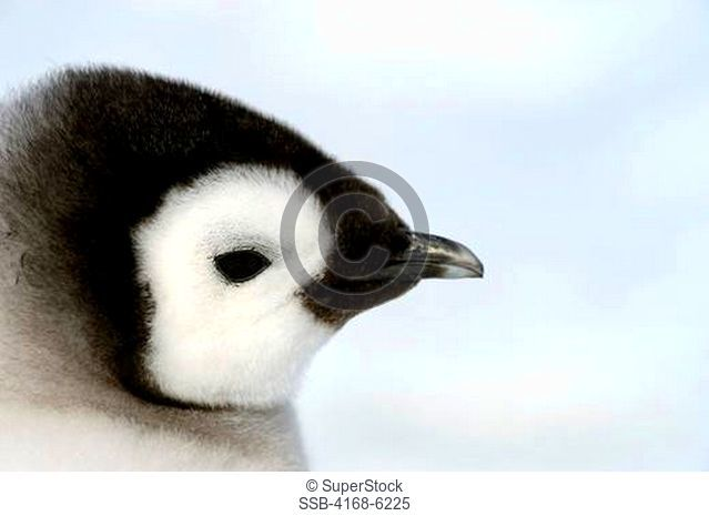 ANTARCTICA, WEDDELL SEA, SNOW HILL ISLAND, EMPEROR PENGUINS Aptenodytes forsteri, PORTRAIT OF CHICK