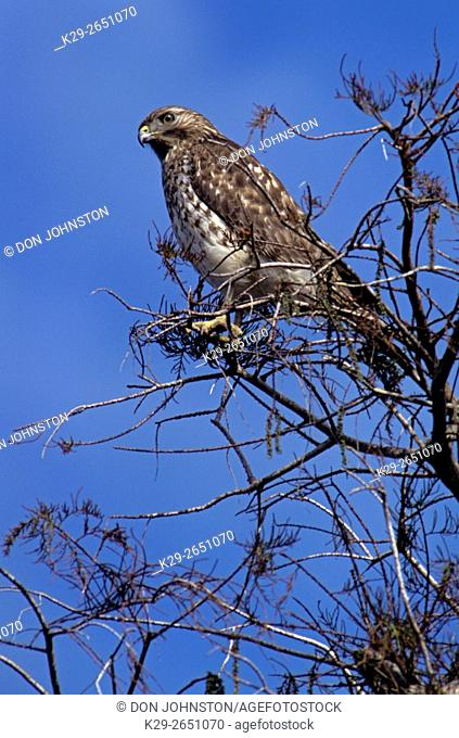 Red shouldered hawk (Buteo lineatus), Everglades National Park, FL, USA