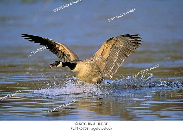 tk0703, Thomas Kitchin, Canada Goose lifting off. North America. Branta canadensis