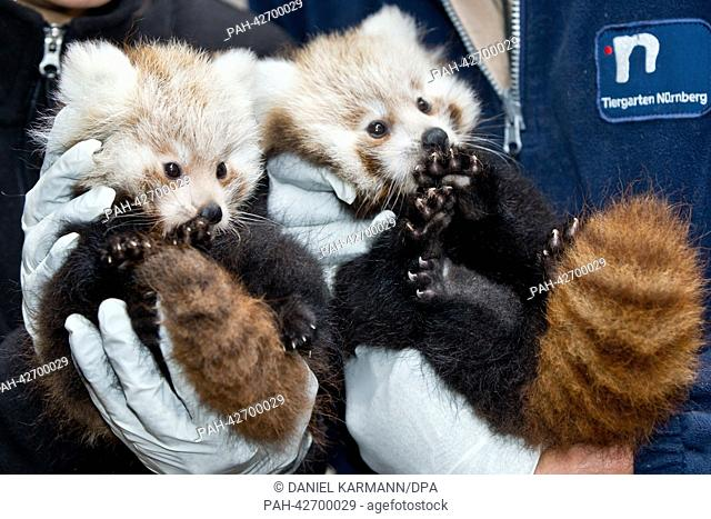 Employees of the Nuremberg Tiergarten zoo present two red panda cubs in Nuremberg, Germany, 20 September 2013. The young animals were born on 06 July 2013