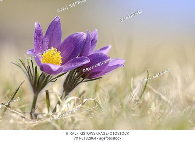 Common Pasque Flowers / European pasqueflower (Pulsatilla vulgaris) growing on calcareous low-nutrient meadow, low point of view, nice soft light.