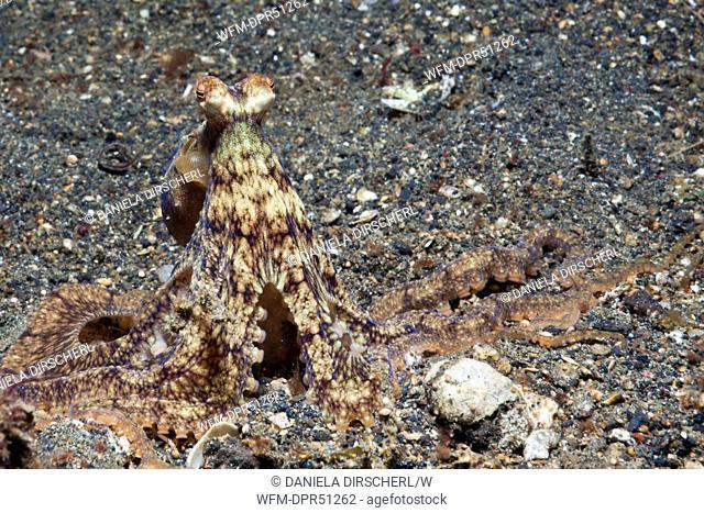 Longarm Octopus, Octopus defilippi, Lembeh Strait, Sulawesi, Indonesia