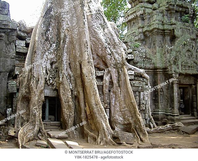 Huge rootsystem invading the walls at Angkor Ta Prohm Temple, Cambodia