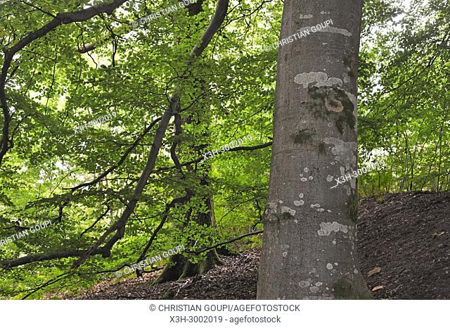 common beech tree in the Forest of Rambouillet, Haute Vallee de Chevreuse Regional Natural Park, Department of Yvelines, Ile de France Region, France, Europe
