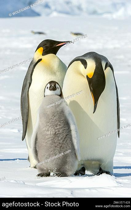 An Emperor penguin (Aptenodytes forsteri) with chick on the sea ice at Snow Hill Island in the Weddell Sea in Antarctica