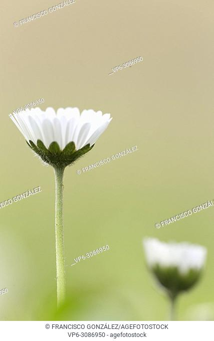 Bellis perennis, commonly called chiribita, common daisy, pascueta or velvet. Vertical shot with natural light