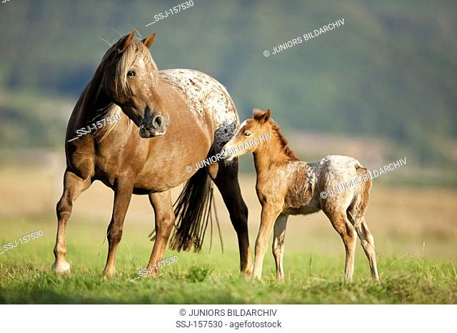 Knabstrup horse - mare and foal on meadow