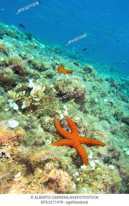 Smooth Starfish, Hacelia attenuata, Cabo Cope-Puntas del Calnegre Natural Park, Mediterranean Sea, Region de Murcia, Murcia, Spain, Europe