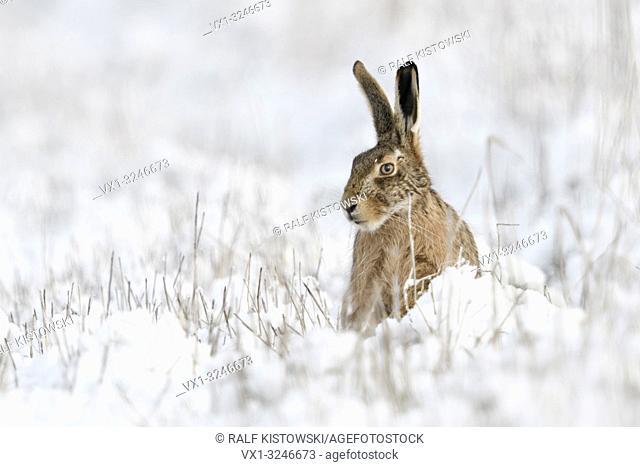 Brown Hare / European Hare / Feldhase ( Lepus europaeus ) in winter, sitting in snow, looks funny, wildlife, Europe