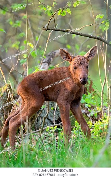 Young moose in the forest in the wild