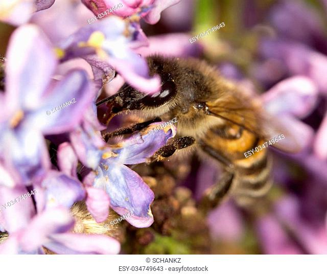 bee on a flower lilac. close