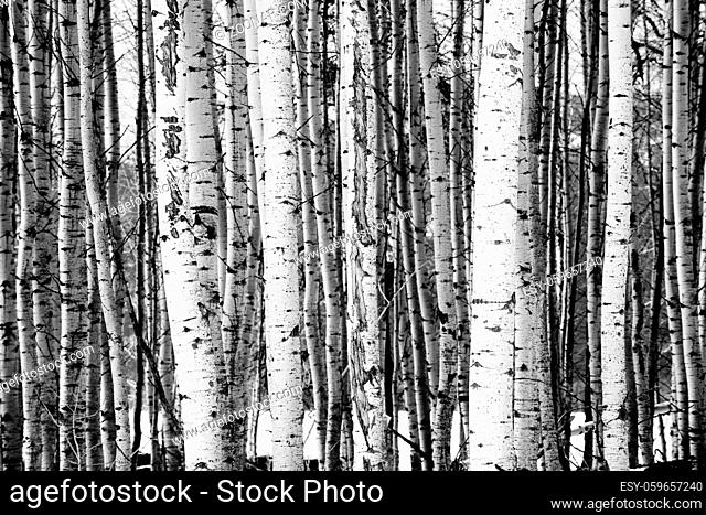 A stand of trees in black and white in a wintery season landscape