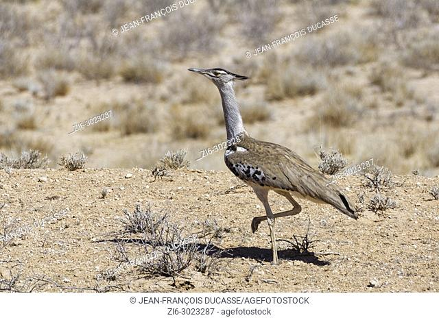 Kori bustard (Ardeotis kori) moving on arid ground, Kgalagadi Transfrontier Park, Northern Cape, South Africa, Africa