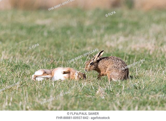 European Hare (Lepus europeaus) adult pair, male smelling rolling female in grass field, Suffolk, England, March
