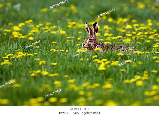 European hare (Lepus europaeus), sitting on a dendelion meadow, Germany, Lower Saxony