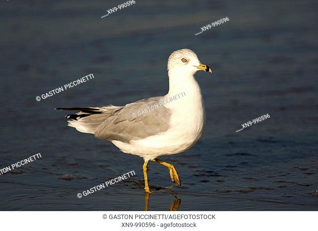 Ring-billed gull Larus delawarensis, Huntington Beach, California, USA
