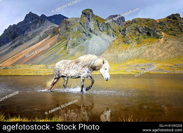 Icelandic Horse. Gray mare walking in shallow water. Iceland