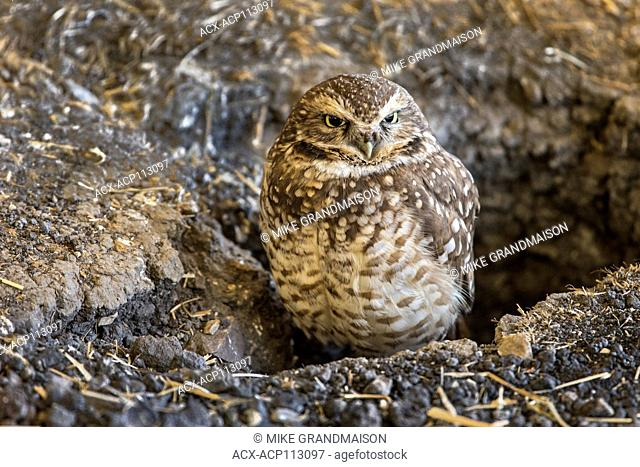 Burrowing owl (Athene cunicularia). Captive Ft. Whyte Nature Centre. (Fort Whyte Alive), Winnipeg, Manitoba, Canada