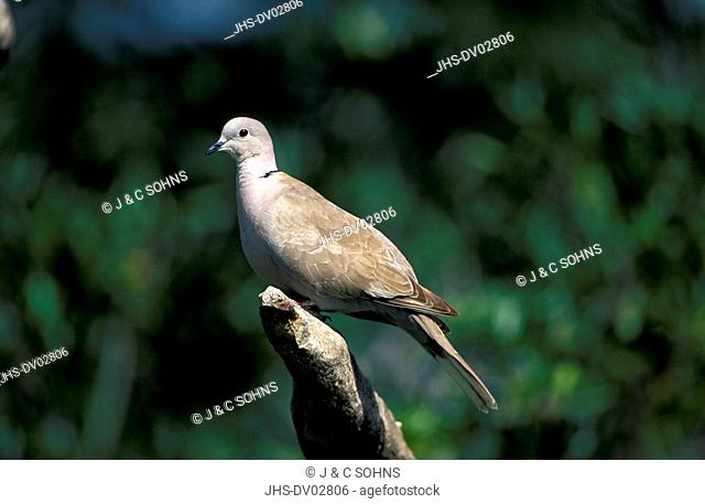 Collared Dove, Streptopelia decaocto, Germany, adult on branch