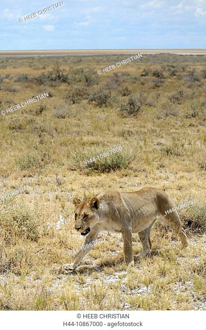 Lion, animal, Leo Panthera, Okaukuejo, Etosha, National Park, Kunene Region, Namibia, Africa, Travel, Nature