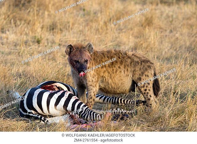 A Spotted hyena (Crocuta crocuta) is feeding on a zebra they killed in the grassland in the Masai Mara National Reserve in Kenya