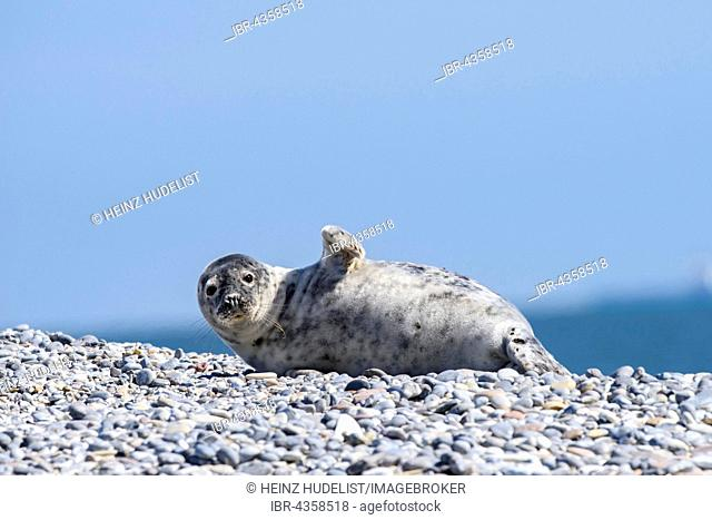 Grey Seal (Halichoerus grypus) waves on the shingle beach, Heligoland, Schleswig-Holstein, Germany