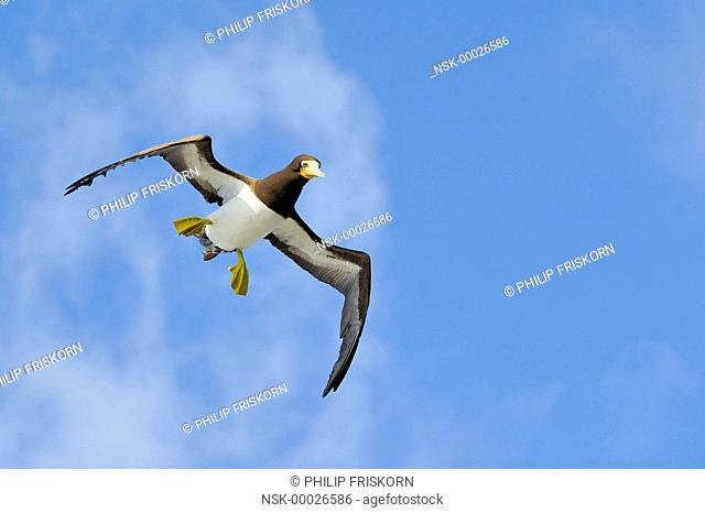 A female Brown Booby (Sula leugogaster leugogaster) in flight towards the nest, Cayman Islands, British Overseas Territory, Cayman Brac