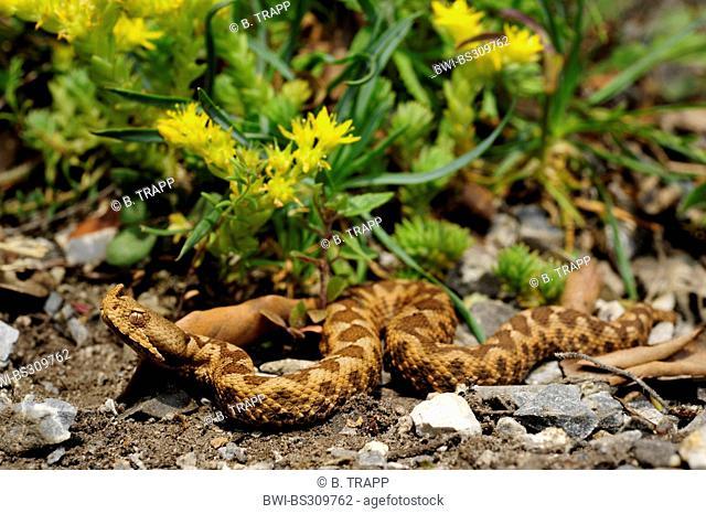 Nose-horned viper, Horned viper, Long-nosed viper (Vipera ammodytes, Vipera ammodytes meridionalis), juvenile male, Greece, Macedonia