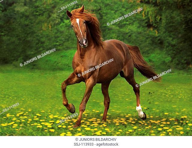 Arabian Horse running over meadow