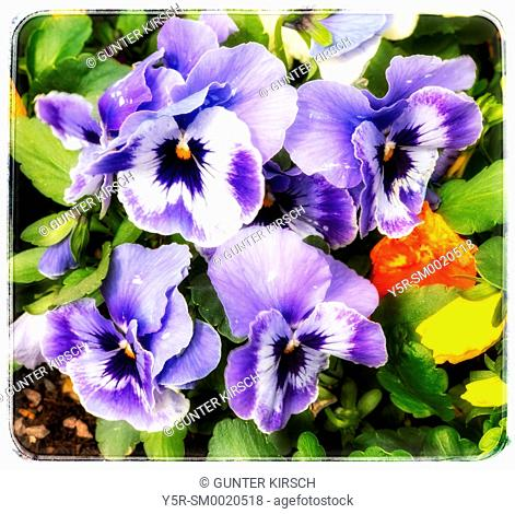Detail Photo of Pansy Flowers