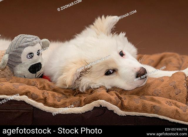 Welpe (Islandhund)