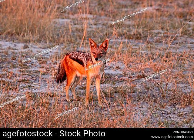 Schabrackenschakal im frühen Morgenlicht, Moremi Wildreservat Botswana