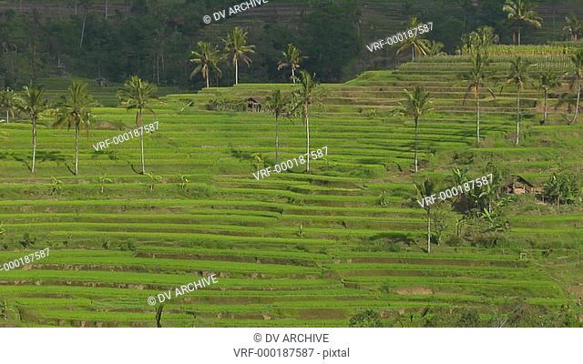 A terraced rice farm grows green fields
