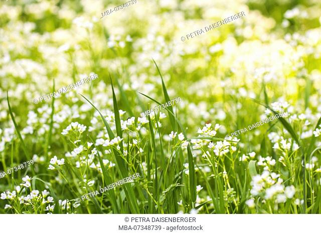Many small white flowers in a summer meadow