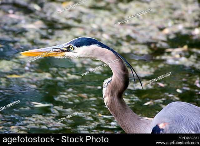 Great Blue Heron waiting for his next meal to swim by