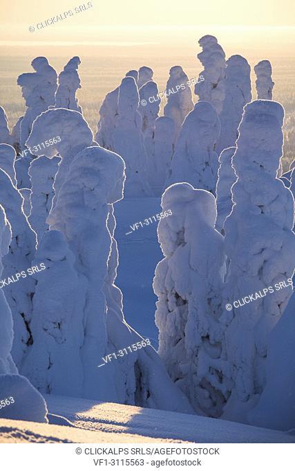 Frozen trees, Riisitunturi National Park, Posio, Lapland, Finland