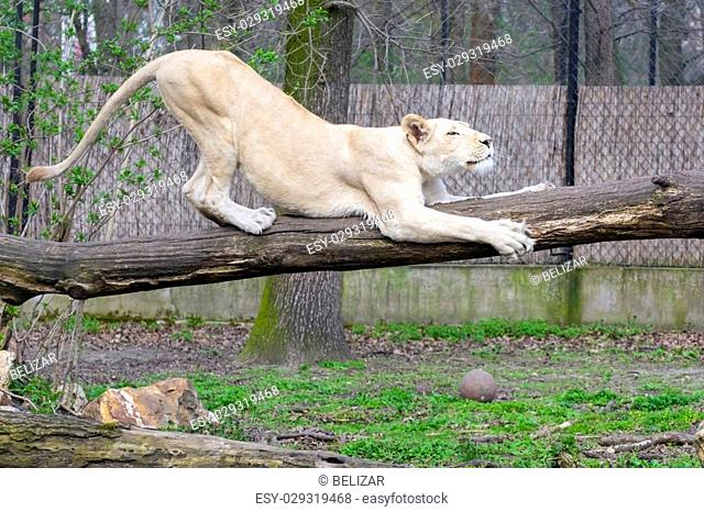 White South African lioness (Panthera leo krugeri) on a log