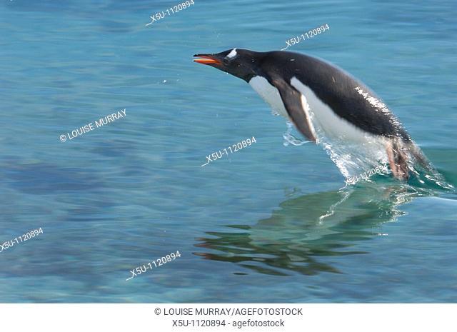 Adelie penguin porpoising in the air Antarctic peninsula Pleneau Island
