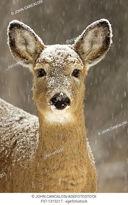 White-tailed deer - Odocoileus virginianus - doe - New York - USA