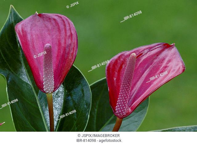 Flamingo Lily (genus Anthurium ), flowers