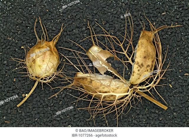 Black caraway (Nigella sativa), open seedpod, medicinal plant