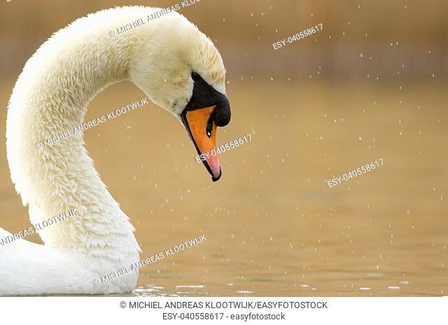 A graceful swan in a dutch lake