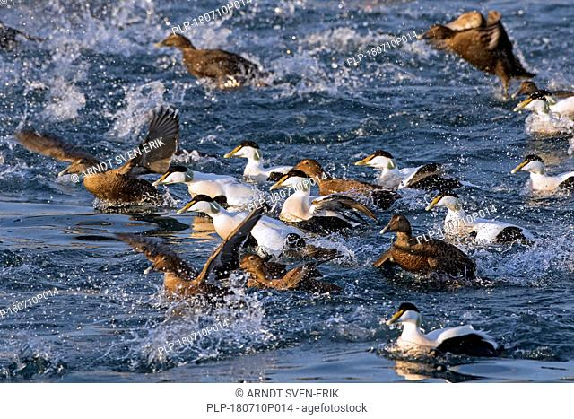 Common eider (Somateria mollissima) flock with males and females taking off from water at sea
