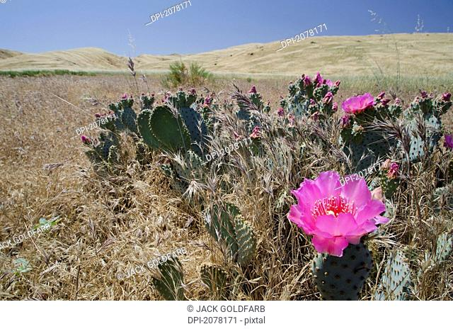 A blooming endangered bakersfield cactus, arvin california united states of america