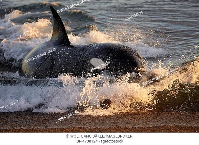 Orca (Orcinus orca) attacking sea lion pups (Otaria flavescens) at the beach, Mirador, Punta Norte, Peninsula Valdés, Chubut, Patagonia, Argentina
