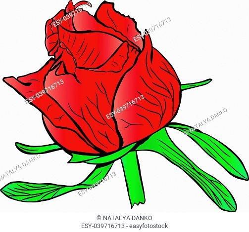 red unopened peony bud with green leaves isolated on white background