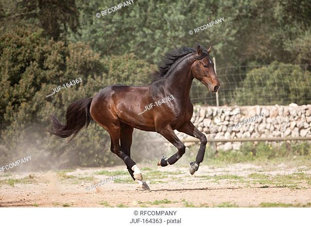 Westphalian horse - galloping