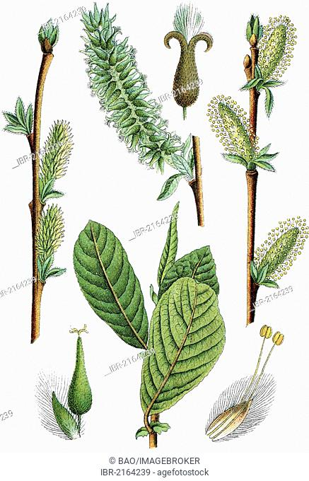 Eared willow (Salix aurita), medicinal plant, crop plant, chromolithography, about 1870