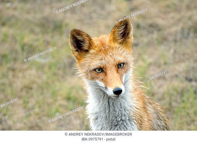 Red Fox (Vulpes vulpes), Russia